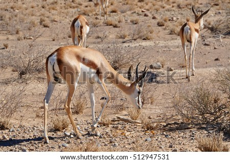 Close up of a Springbok in Etosha national park in Namibia Africa.