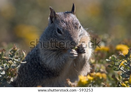 Close-up of a squirrel looking to get fat for the upcoming winter, Pacific Coast, near Big Sur. - stock photo