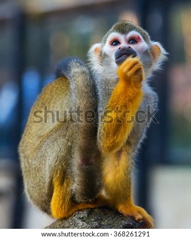 Close up of a squirrel monkey - stock photo