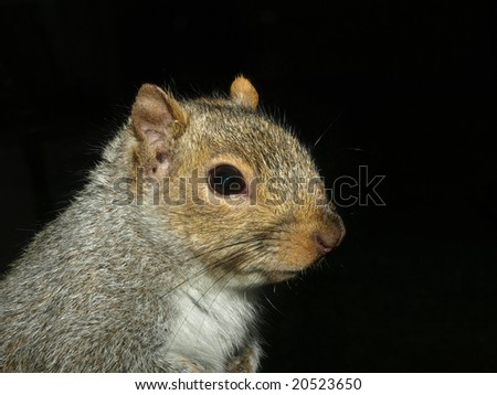 Close up of a squirrel on black background - stock photo