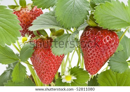 Close up of a strawberry plant with ripe strawberries - stock photo