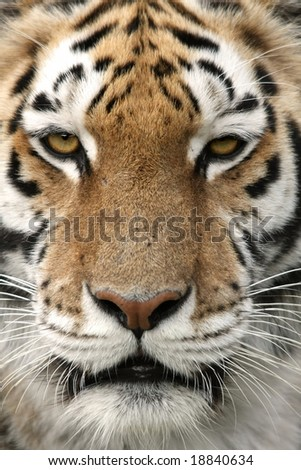 Close up of a strikingly beautiful tiger