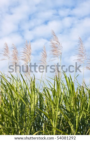 Close up of a sugar cane field in bloom against a blue sky - stock photo
