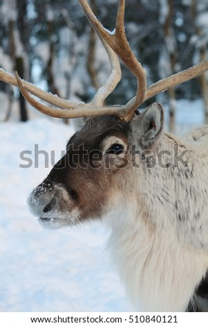 Close up of a tame reindeer in the snow