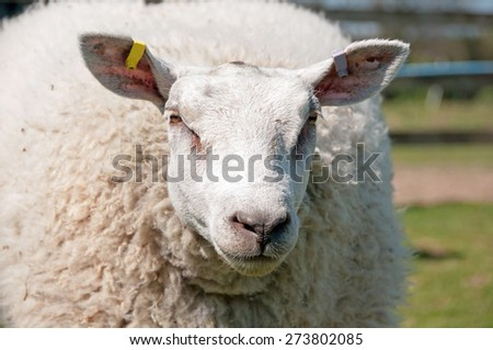 Close up of a Texel cross sheep - stock photo