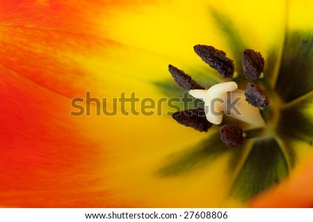Close-up of a the reproductive organs of a tulip. Showing male and female organs. - stock photo