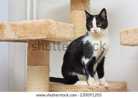Close-up of a three months old black and white  kitten playing with a rope toy on the top of the scratching post.  - stock photo