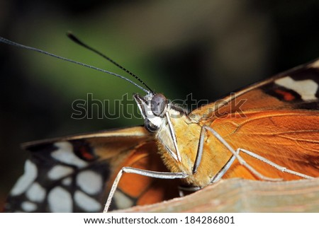 Close-up of a Tiger Longwing Butterfly (aka Hecale Longwing, Golden Longwing, Golden Heliconian - Heliconius Hecale), Costa Rica - stock photo