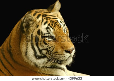 Close-up of a tiger's face in black background - stock photo