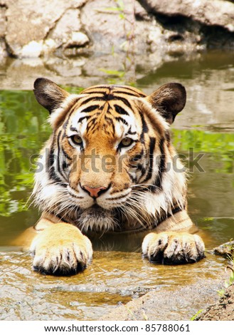 close up of a tiger's face of Bengal Tiger relaxing at pond - stock photo