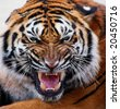close up of a tiger's face with bare teeth Tiger Panthera tigris altaica - stock photo