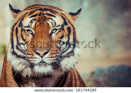 Close-up of a Tigers face. - stock photo