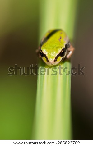 Close up of a tiny green Pacific tree frog on blade of grass - stock photo