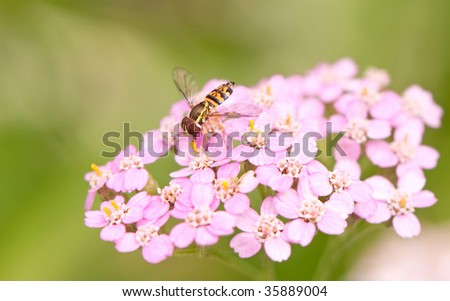 Close up of a tiny Hover fly collecting pollen from a pink flower.