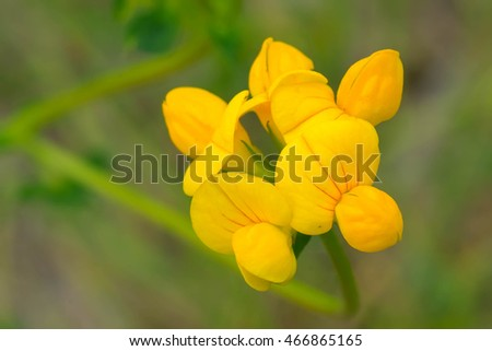 Close up of a tiny yellow Birdsfoot Trefoil flower.