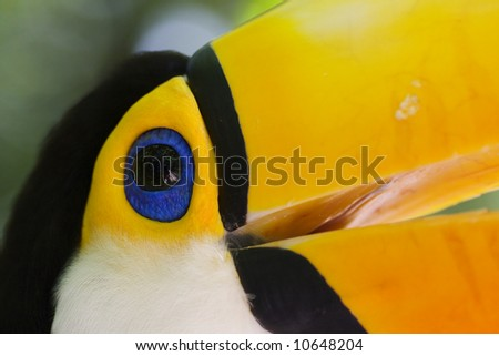 Close-up of a toucan in Brazil - ramphastos toco - stock photo