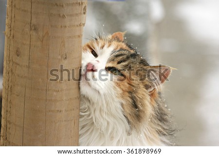 Close up of a tricolored long haired cat rubbing her face on a pole outdoors in a Winter snowy scenery - stock photo