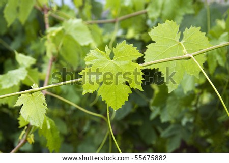 Close up of a vine plant  with green leaves