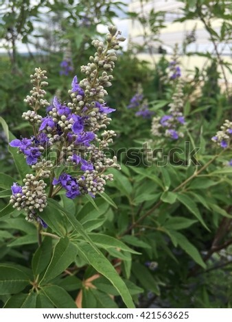 Close up of a vitex beginning to flower blue blooms.