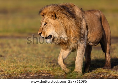 Close up of a walking Lion in the Marsh of Ngorongoro Conservation Area, Tanzania - stock photo