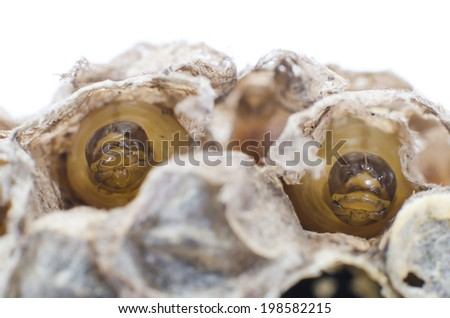 Close up of a wasp emerging from a wasps nest - showing empty cells on the right where wasps have already left and young wasps about to break out  - stock photo