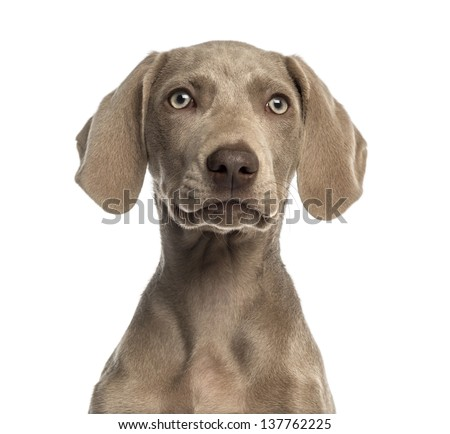 Close-up of a Weimaraner puppy facing, 2,5 months old, isolated on white - stock photo