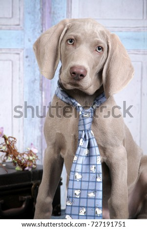 Close-up of a Weimaraner puppy wearing the blue tie.