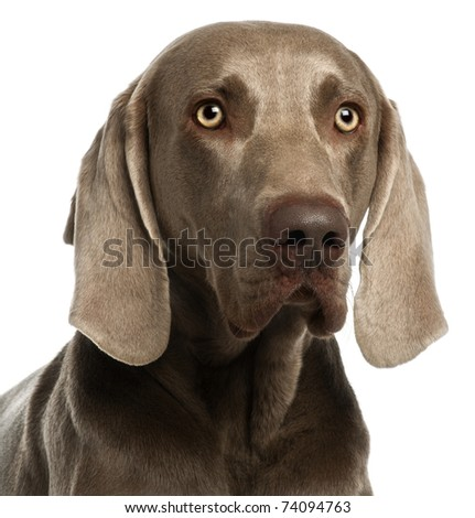 Close-up of a Weimaraner, 3 years old, in front of white background - stock photo