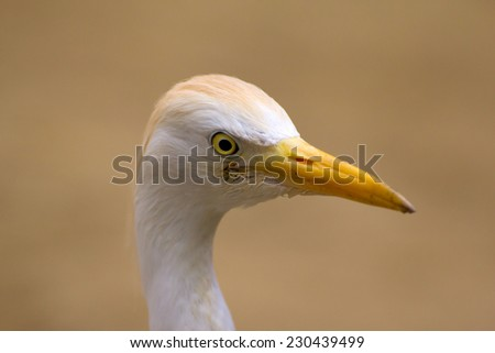 Close-up of a Western Cattle Egret  - stock photo