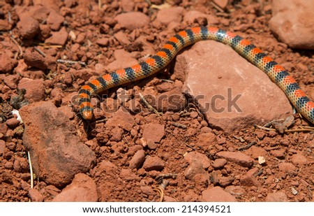 Close up of a western ground snake going about looking for a meal in the desert heat of Sedona - stock photo