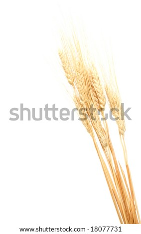 Close up of a wheat ears isolated on white - stock photo