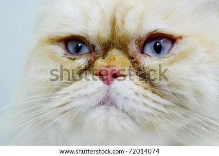 Close up of a white and cream persian cat face