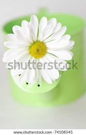 Close up of a white daisy-like Chrysanthemum inserted in the the nozzle of a green watering can to signify Spring. - stock photo