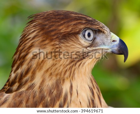 Close-up of a white-eyed buzzard - stock photo