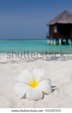 Close up of a white frangipani on a sandy beach with a water villa in the background - stock photo