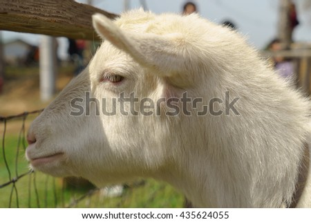 Close-up of a white goat