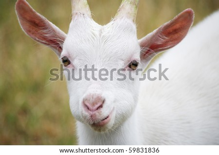 Close up of a white goat in a field