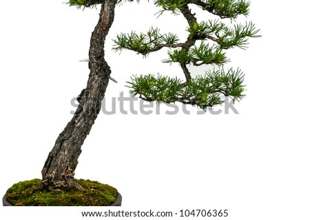 Close-up of a white isolated scotch pine as bonsai tree - stock photo