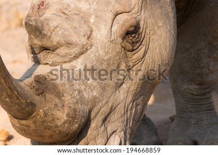 Close-up of a white rhino head with tough wrinkled skin