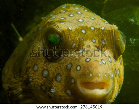 Close-up of a white-spotted puffer, one of many unusual critters encountered at Secret Bay, northern Bali. - stock photo
