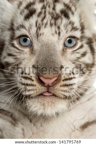 Close-up of a White tiger cub (2 months old) - stock photo