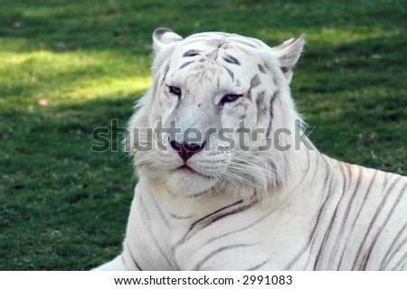 close up of a White Tiger Facial Feature - stock photo