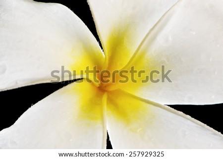 Close-up of a white - yellow frangipani (plumeria) flower.  - stock photo