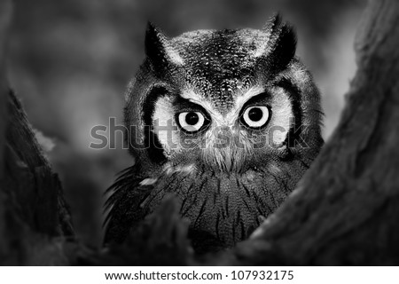 Close-up of a Whitefaced Owl (Artistic Processing) - stock photo