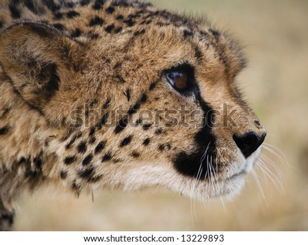 close-up of a wild cheetah - stock photo