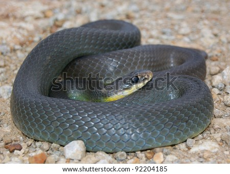 Close up of a wild coiled snake - Eastern Yellow-bellied Racer, Coluber constrictor flaviventris - stock photo