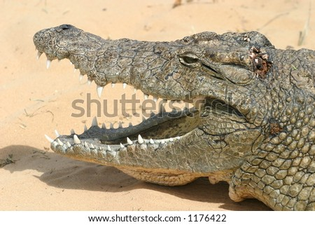 Close-up of a Wild Crocodile with it's Mouth Open Showing Teeth. Against a Sand Background