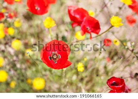 close up of a wild flower- poppy-shallow DOF - stock photo