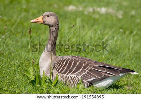 Close up of a wild goose in grass - stock photo