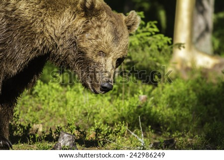 Close up of a wild male brown bear (Ursus arctos) staring at the camera - stock photo